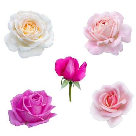 collage of five pink  roses isolated on white background Stock Photo