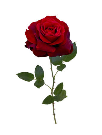 Dark red rose isolated on white background Stock Photo