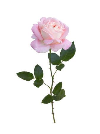 핑크 장미 흰 배경에 고립입니다. 스톡 콘텐츠
