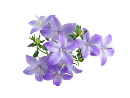 campanula: beautiful blue campanula bell is isolated on white background, closeup