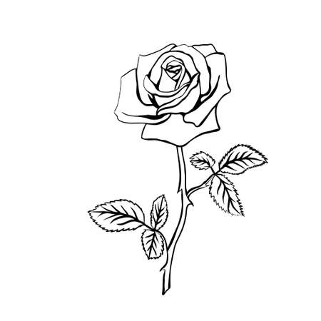 thorns and roses: Rose sketch. Black outline on white background. Vector illustration.