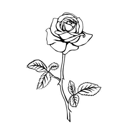 isolated on white: Rose sketch. Black outline on white background. Vector illustration.