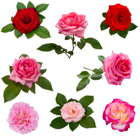 pink and green: collage of eight  roses isolated on a white background