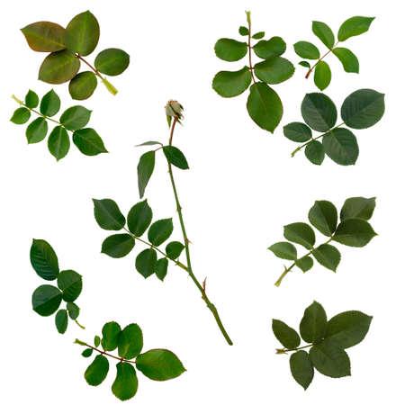 녹색의 설정은 잎 흰색 배경에 고립 된 장미