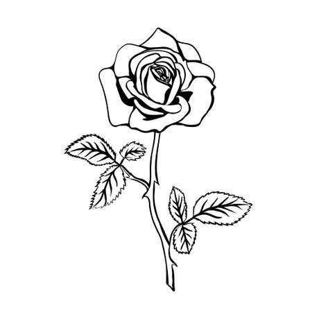 rose tattoo: Rose sketch. Black outline on white background. Vector illustration.