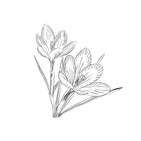 Hand drawn crocus flowers. Elegant vintage card. Vector illustration. Vectores