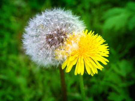 Young and old dandelion standing near solar lawn on a background of green lawn
