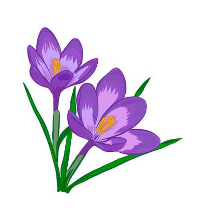 Hand drawn crocus flowers. Vector illustration.