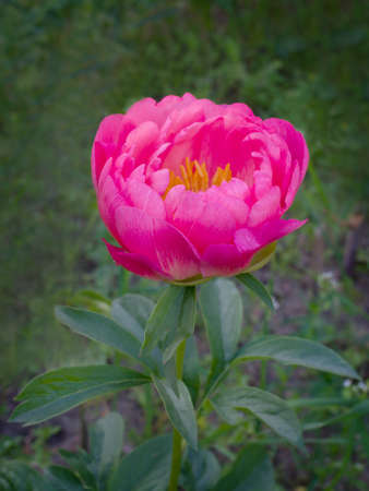 charm: Beautiful pink peony close-up outdoors. Peony cultivar Coral Charm