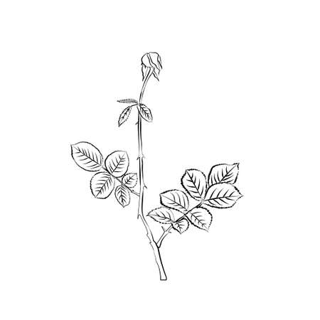 withering: Stem and leaves of withering rose. Sketch. Black outline on white background. Vector illustration.