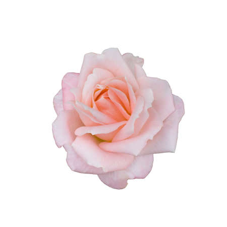 Pink rose isolated on a white background Foto de archivo