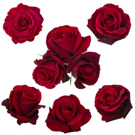 rosas rojas: collage de rosas rojas sobre fondo blanco