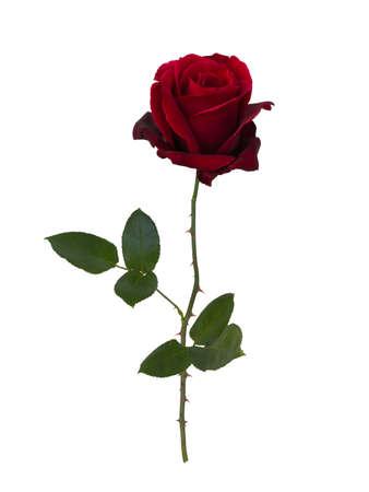 Donker rode roos op een witte achtergrond