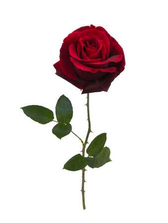 Dark red rose isolated on white background 版權商用圖片