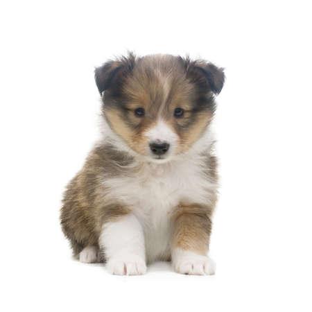 美しい幸せなシェルティー子犬犬が正面を座っていると、白い背景で隔離のカメラ目線 写真素材