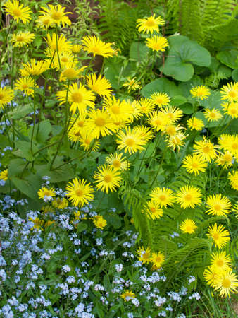 oxeye: Flowering oxeye daisies  and forget-me-nots  in a garden