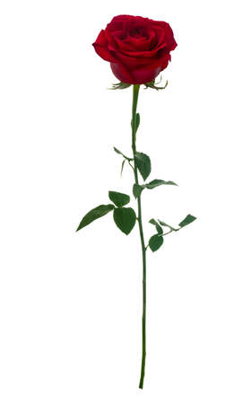 stalk: Dark red rose isolated on white background Stock Photo