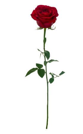 rot: Dunkle rote Rose auf weißem Hintergrund isoliert