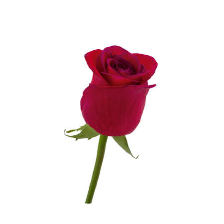 single leaf: Dark red rose isolated on white background Stock Photo