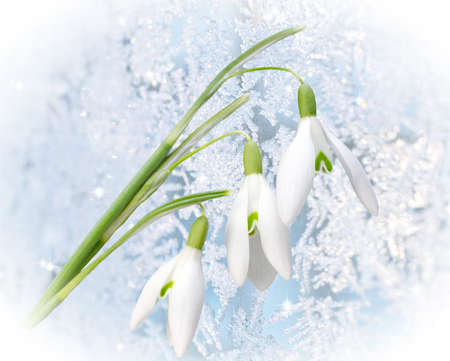 galanthus: The first snowdrops Galanthus on frozen glass background