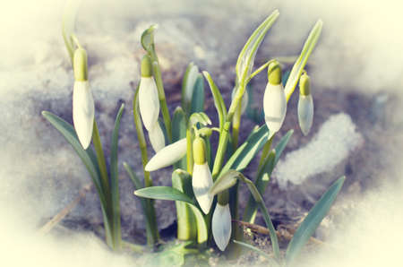 appeared: The first snowdrops appeared from under the snow. Delicate toning