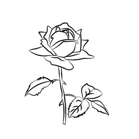 rose: Rose sketch. Black outline on white background. Vector illustration.