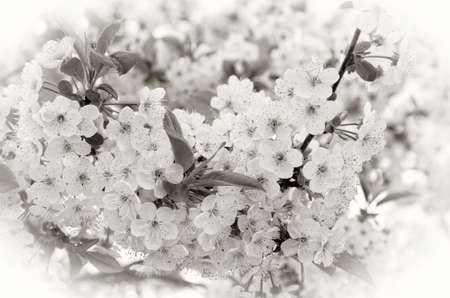 sepia toning: Pink cherry blossoms in garden outdoors close up.. Toning sepia