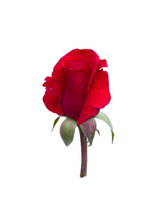 bourgeon: Red rose isolated on  white background.