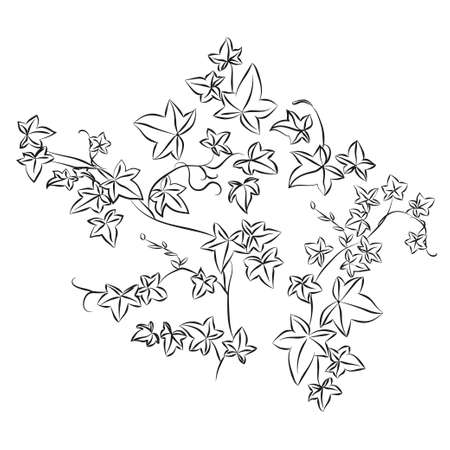 Black and white doodle ivy leaves. illustration