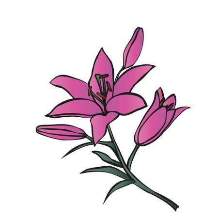 pink lily: Pink Lily on white background. Vector illustration. Illustration