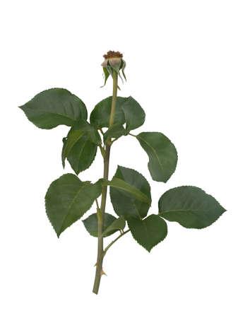 Green rose leaves isolated on white background Reklamní fotografie