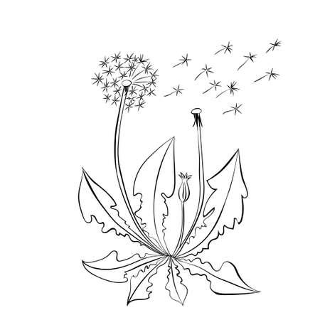 overblown: Dandelion flowers. Dandelion summer flowers, illustration isolated on white background.
