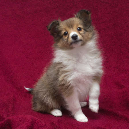 sheltie: little puppy Sheltie  on a red background