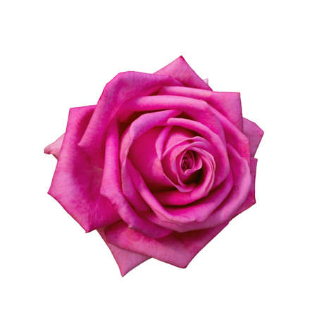 Pink rose isolated on a white background Banco de Imagens