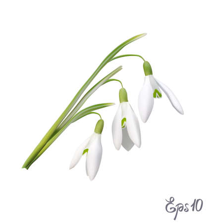 The first snowdrops Galanthus Illustration