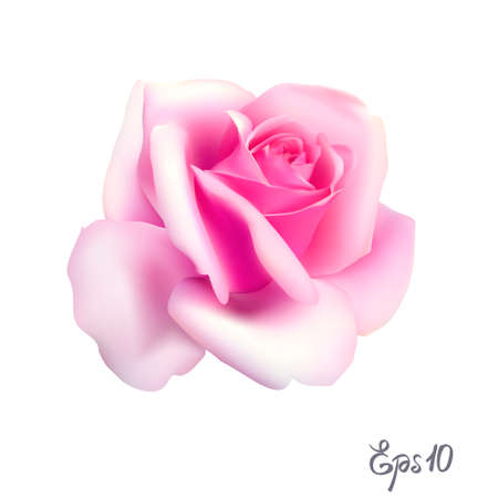 Pink Rose. Isolated Flower on a White Background. Illustration