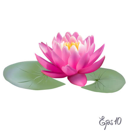 lily pad: Beautiful Lily Lotus. A beautiful realistic illustration of a lily or lotus and lily isolated on white background close up. Photo-realistic mesh vector illustration.