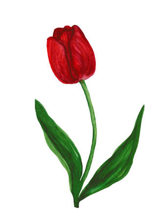 Red tulip watercolor
