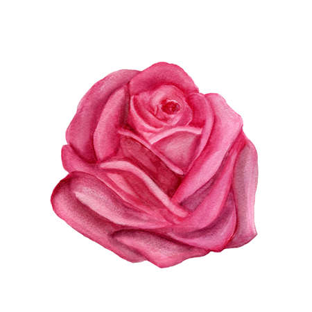 pink rose watercolor hand-painted, isolated on white