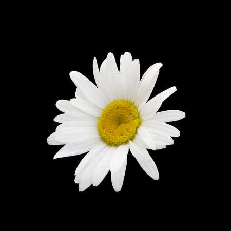 White chamomile flower isolated on black background Stock Photo