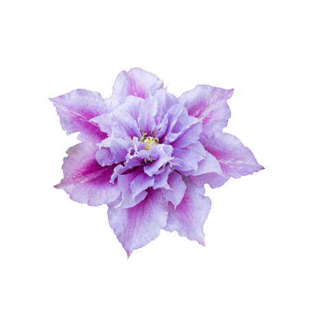 Beautiful pink clematis close-up isolated on white background. Clematis cultivar Piilu Stock Photo