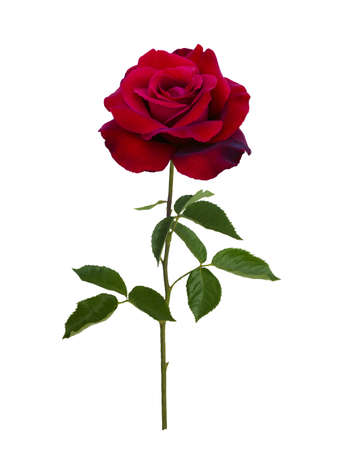 Dark red rose isolated on white background Stok Fotoğraf