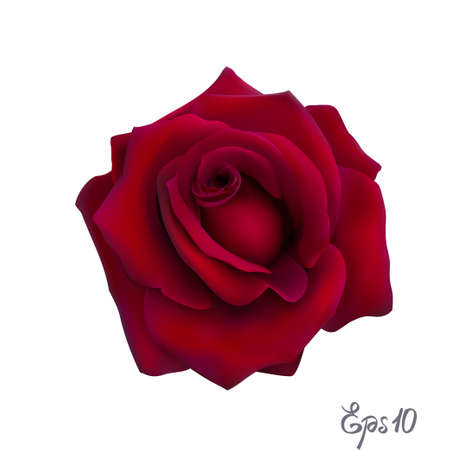 Red Rose isolated on white background close up. Photo-realistic mesh vector illustration. 向量圖像