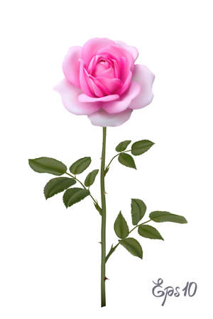 Beautiful pink rose Isolated on white background. Çizim