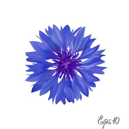 Dark Blue cornflower. Isolated over white background. Vector illustration