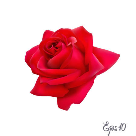 Red rose isolated flower on a white background.