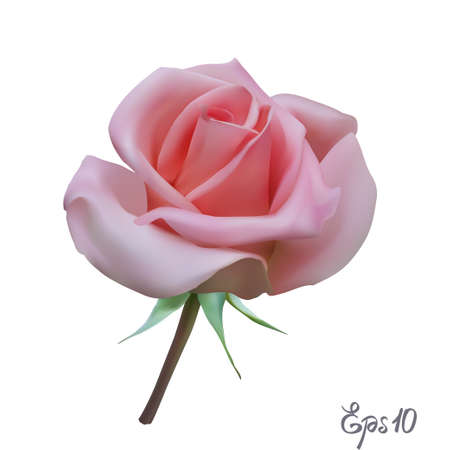 Pink Rose. Isolated Flower on a White Background. Vettoriali