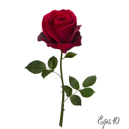 Beautiful red rose Isolated on white background. 写真素材 - 97186540