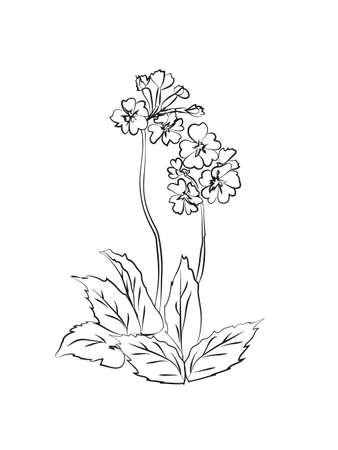 Primrose illustration on white background. Vector illustration  イラスト・ベクター素材