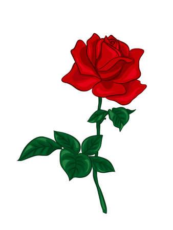 Single red rose Illustration